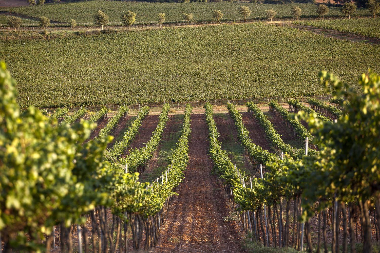 Catalunya-vi-cava-denominacio-origen-cellers-vinya 019
